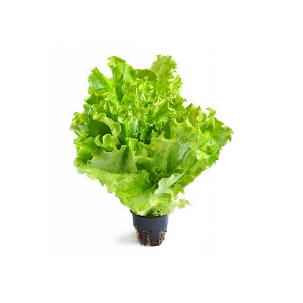 Салат листовой (горшочек), шт